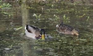adult ducks
