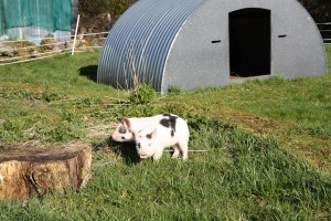gilts checking out new surroundings