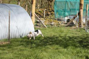 pigs running round arc