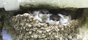 house martins about to fledge