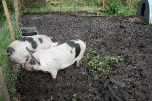 pigs up to knees in mud
