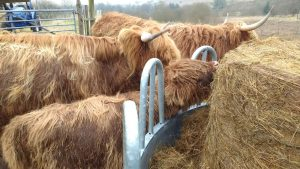 tucking into haylage