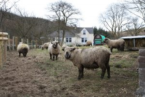 Sheep in lambing paddock