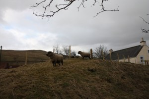 sheep checking out the view