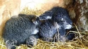 lambs newly born