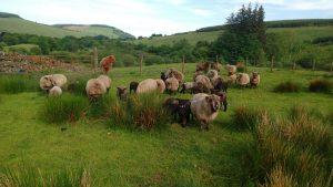 lambs pre shearing
