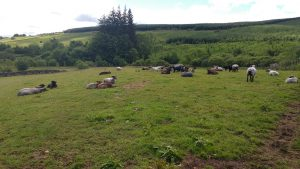 Our ewes and lambs at rest