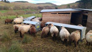 sheep and hay