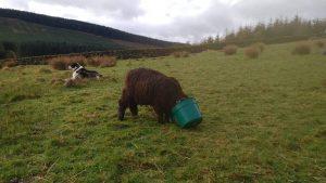 Ymogen Thursday head in bucket