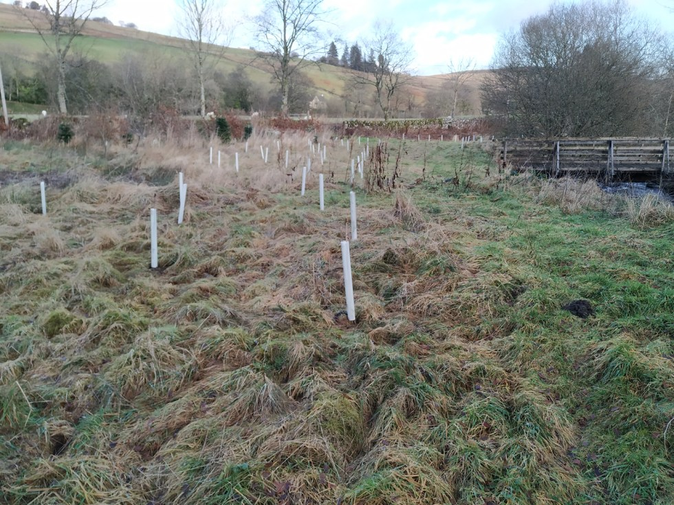 auchenstroan trees planted