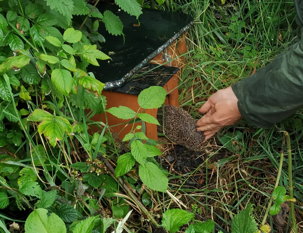 releasing young hedgehog