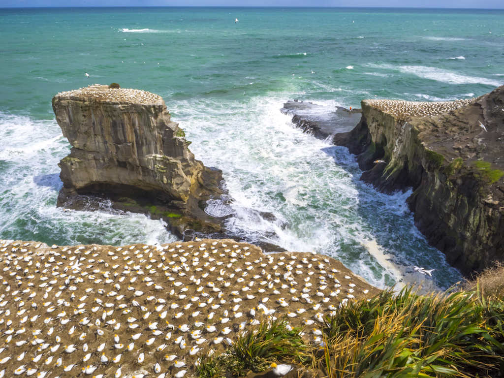 Muriwai Gannet Colony - Landscape Photography - Auckland
