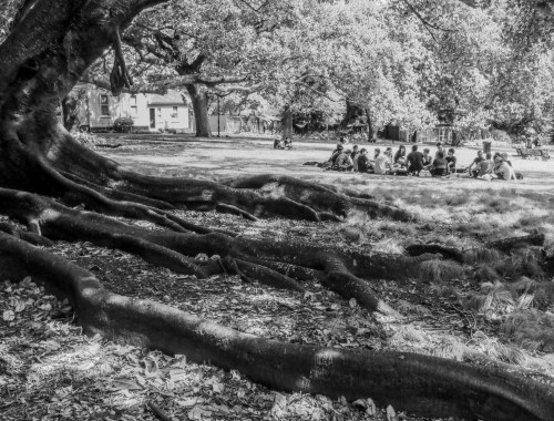 Albert Park Tree - Black & White - Street Photography Auckland