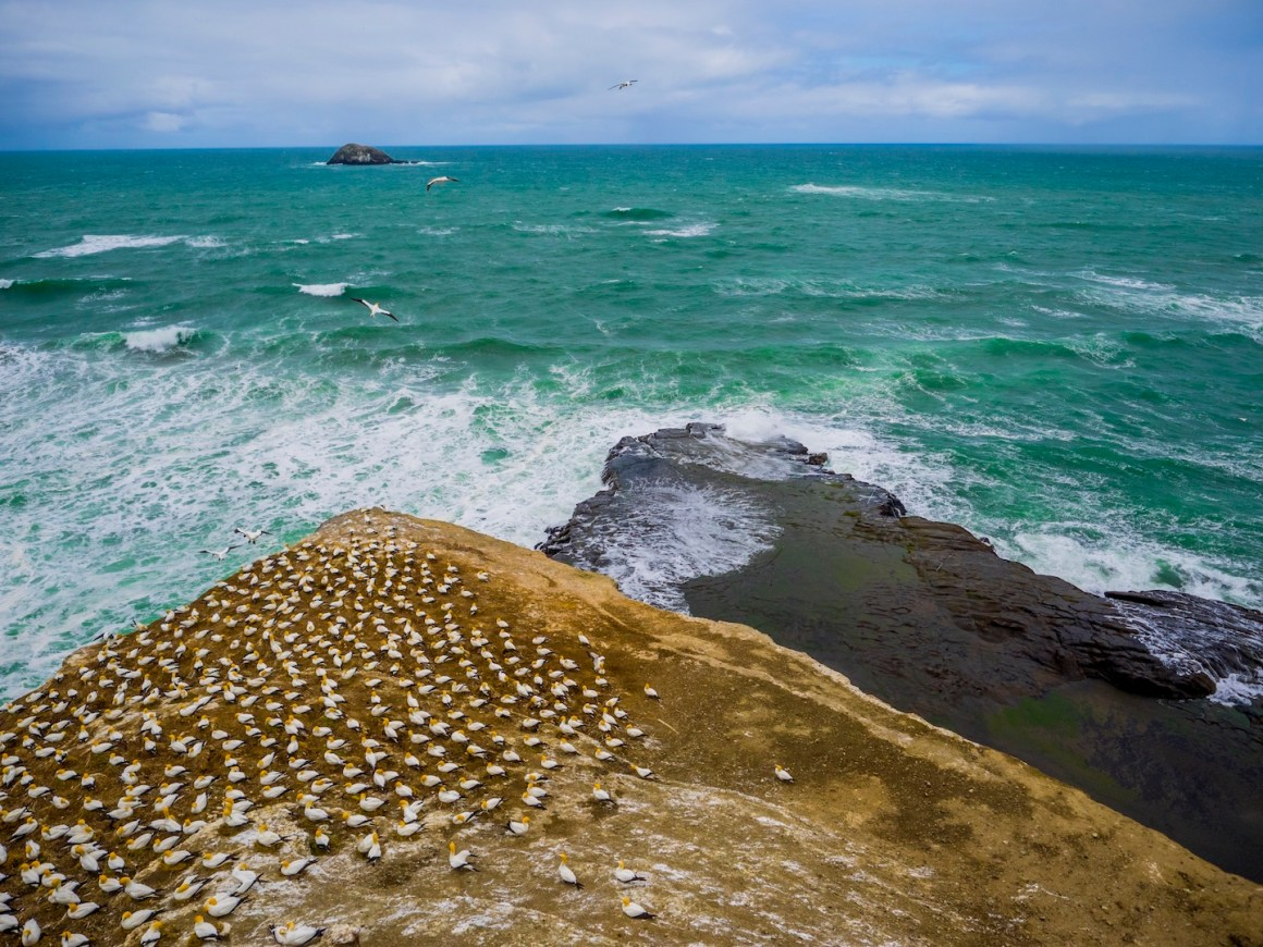 muriwai-gannet-bird-colony