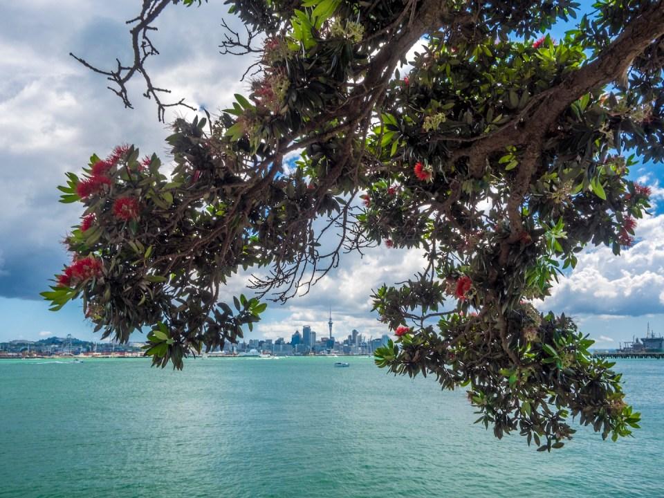 Auckland Skyline - Pohutukawa Tree