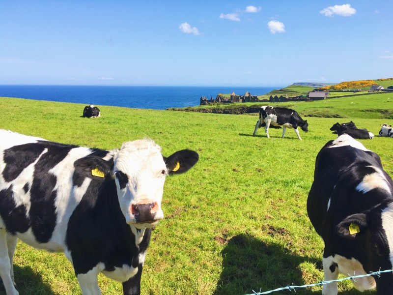 Cows in Dunluce