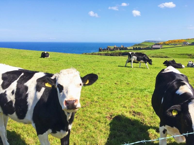 Vaches à Dunluce