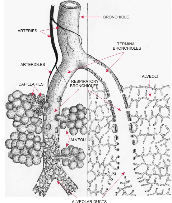 Respiratory System page 14