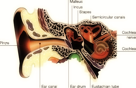 cochlea-11