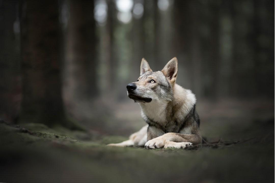 photographie canine photographe animalier chien loup tchecoslovaque