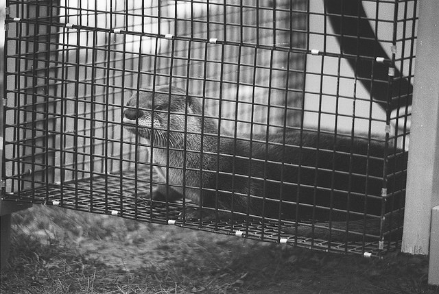 River Otters were reintroduced to Audubon in 1996 when the New York River Otter Project released several on the property.  They are seen infrequently, as they have a large range.