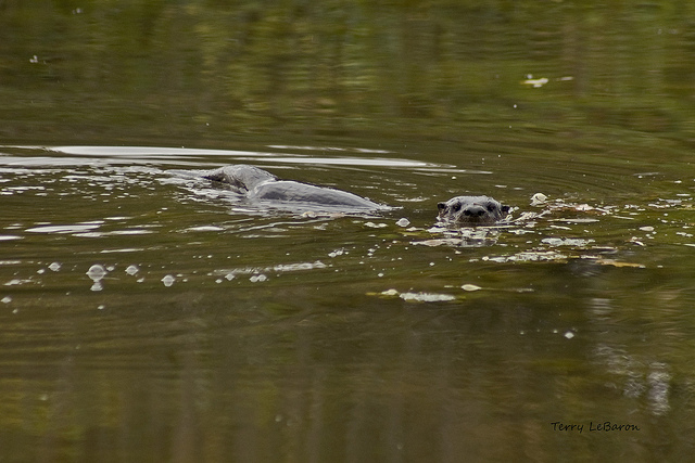 River Otter Tails by Jeff Tome