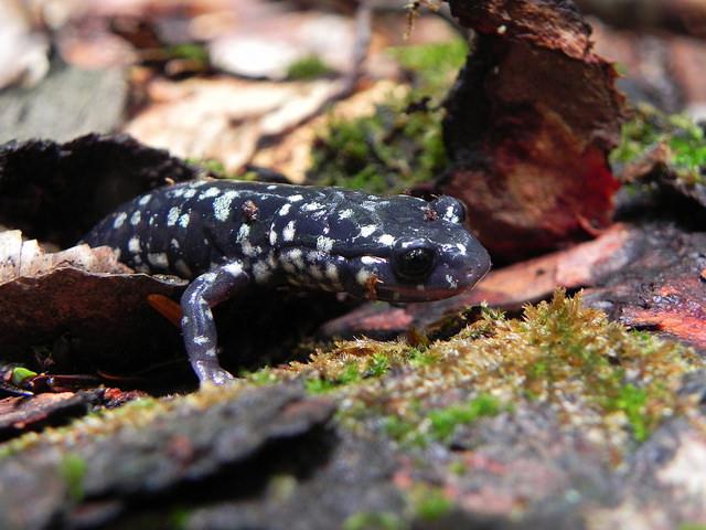 Salamanders by Sarah Hatfield