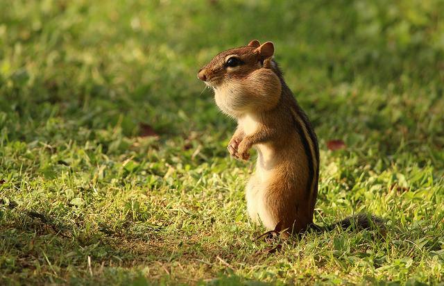 Chipmunks by Katie Finch