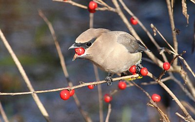 Be Part of a National Program: Count Birds in Warren or Jamestown, December 15 or 16
