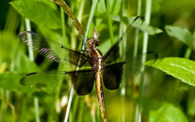 Dragonflies: They do what?! by Katie Finch
