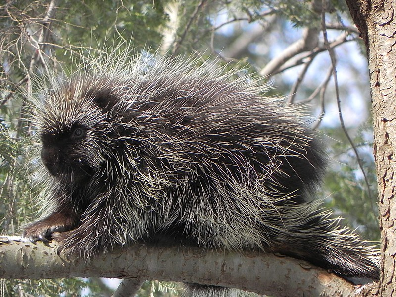 Particular Porcupines by Emily Rechin