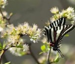 chickasaw plum butterfly