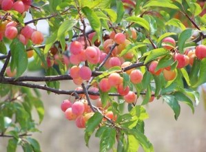 chickasaw plum tree