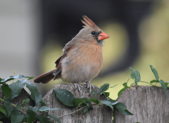 Cardinal Audubon Park Garden District orlando florida ecodistrict community wildlife habitat