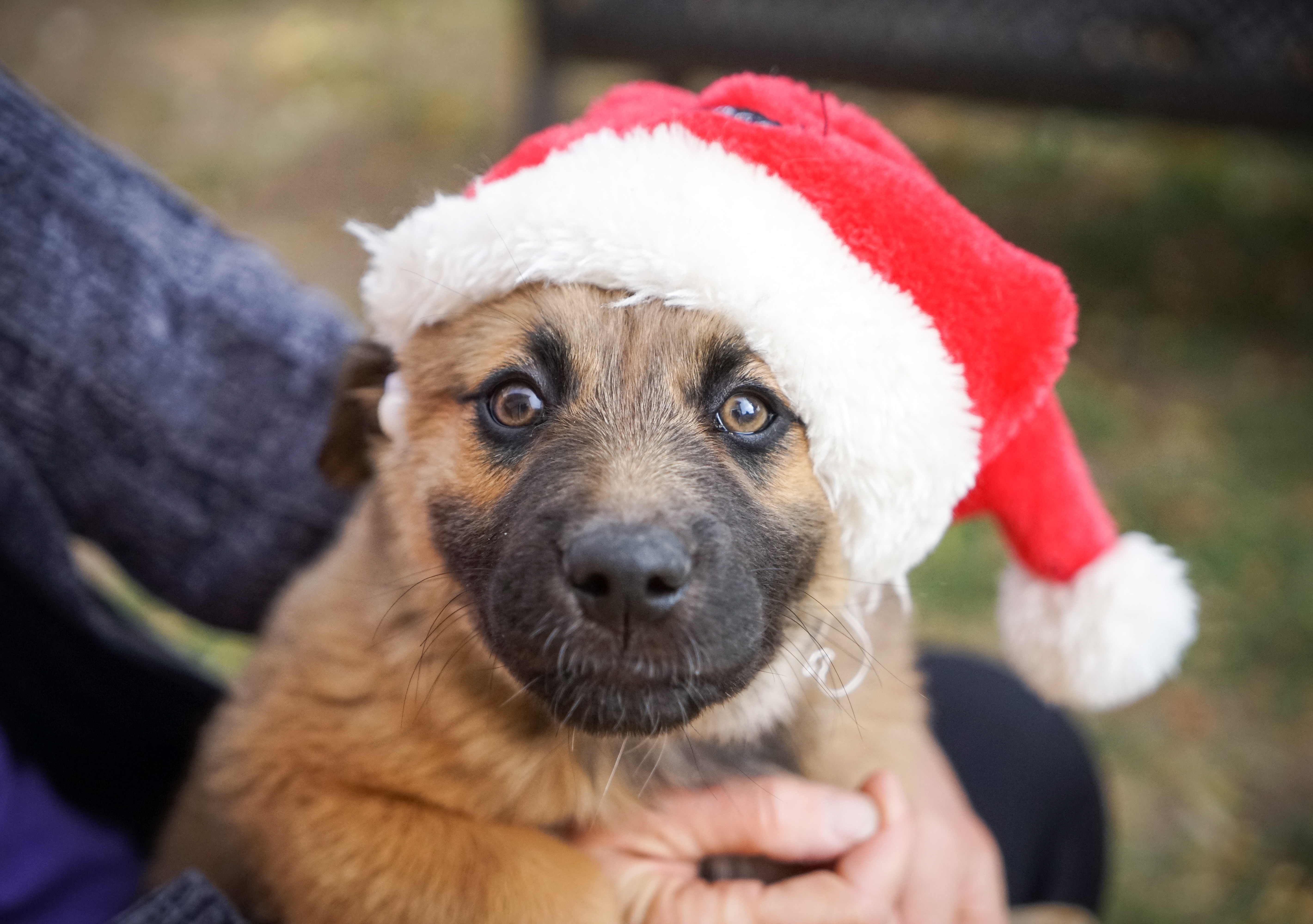 Puppy in Santa Hat by Duffy Brook