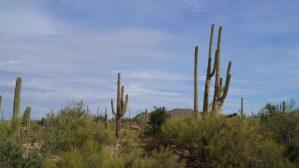 Saguaro Nationalpark, Arizona, Kakteen