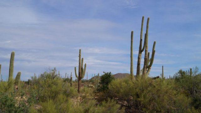 Saghuaro bei Phoenix, Arizona, Kakteen