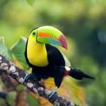 Papagai Panama