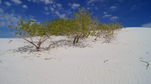 Ein grüner Busch auf weißem Sand unter blauem Himmel