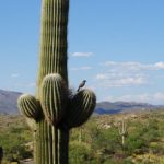 Saguaro Natonalpark mit bunter Tierwelt