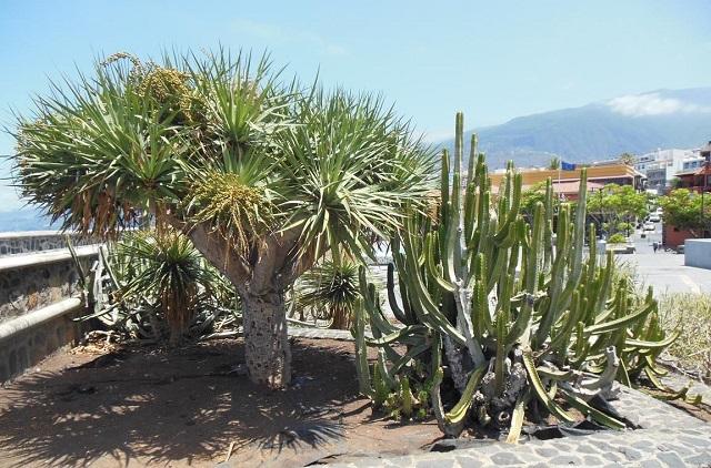 Typische Vegetation auf den Kanarischen Inseln