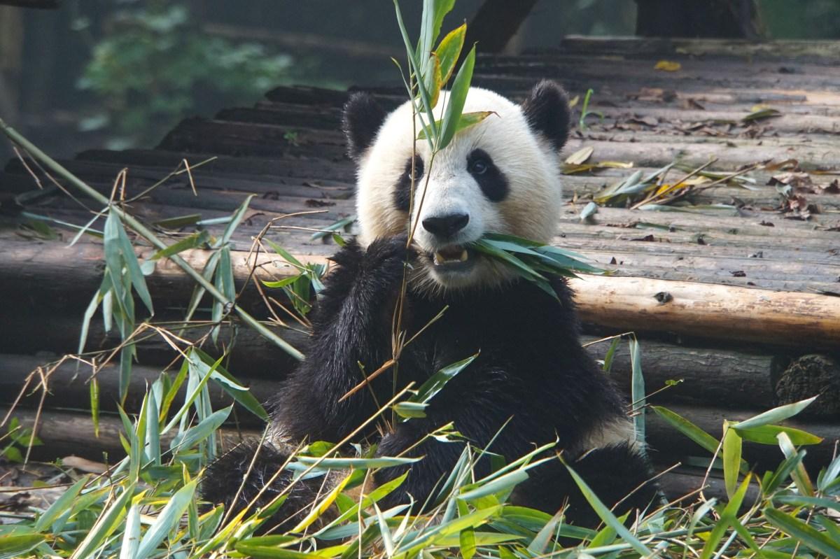 Découvrir les Pandas en Chine, une belle expérience