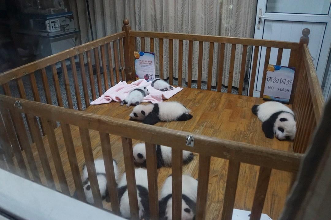 bébé-pandas