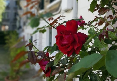 La campagane Paris Rose
