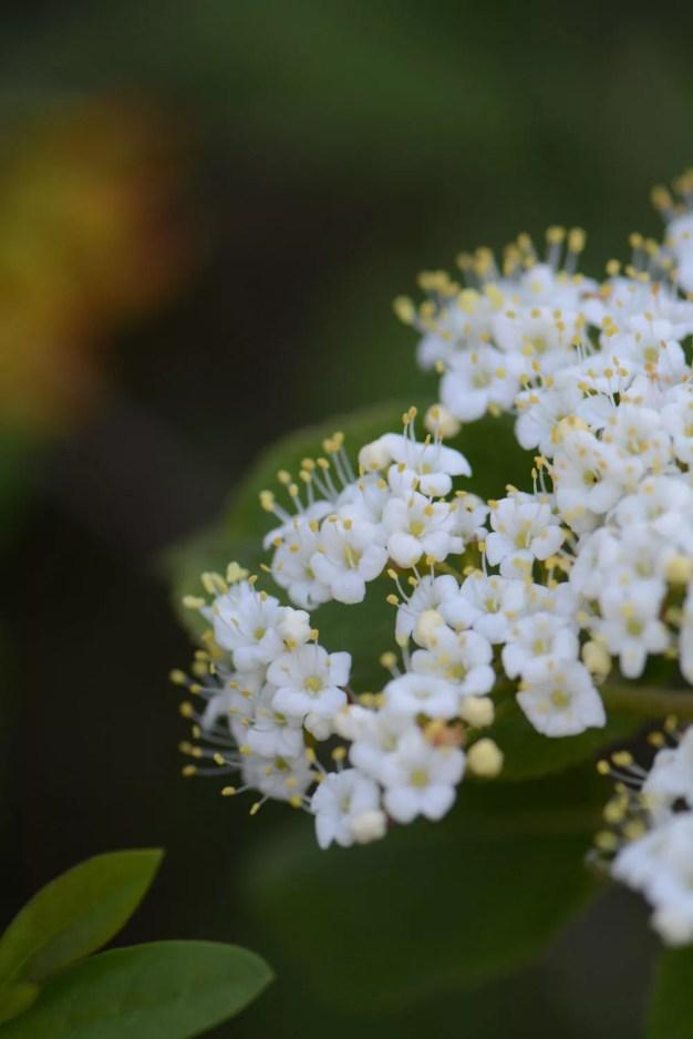 Fleur_arbuste_blanc_avril_2017