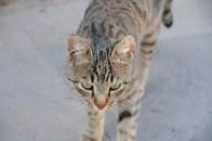Cat at Khor Virap