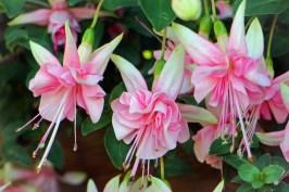 gardening-20160129-fuchsia