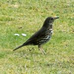 20160426_Bird Watching_Song Thrush at Speke Hall