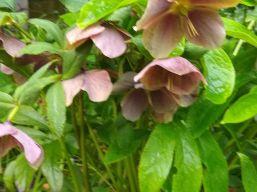 """""""Hellebore"""" in Liz F's Garden"""
