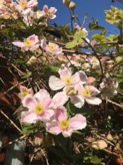 Clematis Montana ' Freda' - beautiful pale pink flowers in Spring - fast grower - great over a pergola